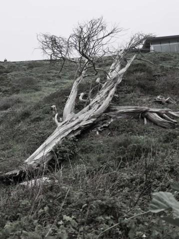 Tree near Sutro Baths