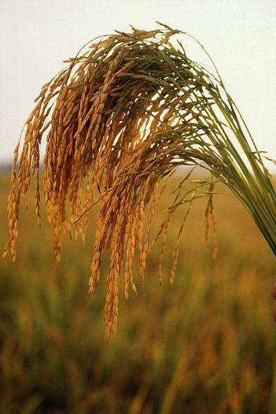 the rice myth story tagalog version