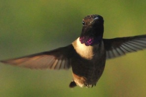 800px Black Chinned Hummingbird Browns Park NWR 12824564364